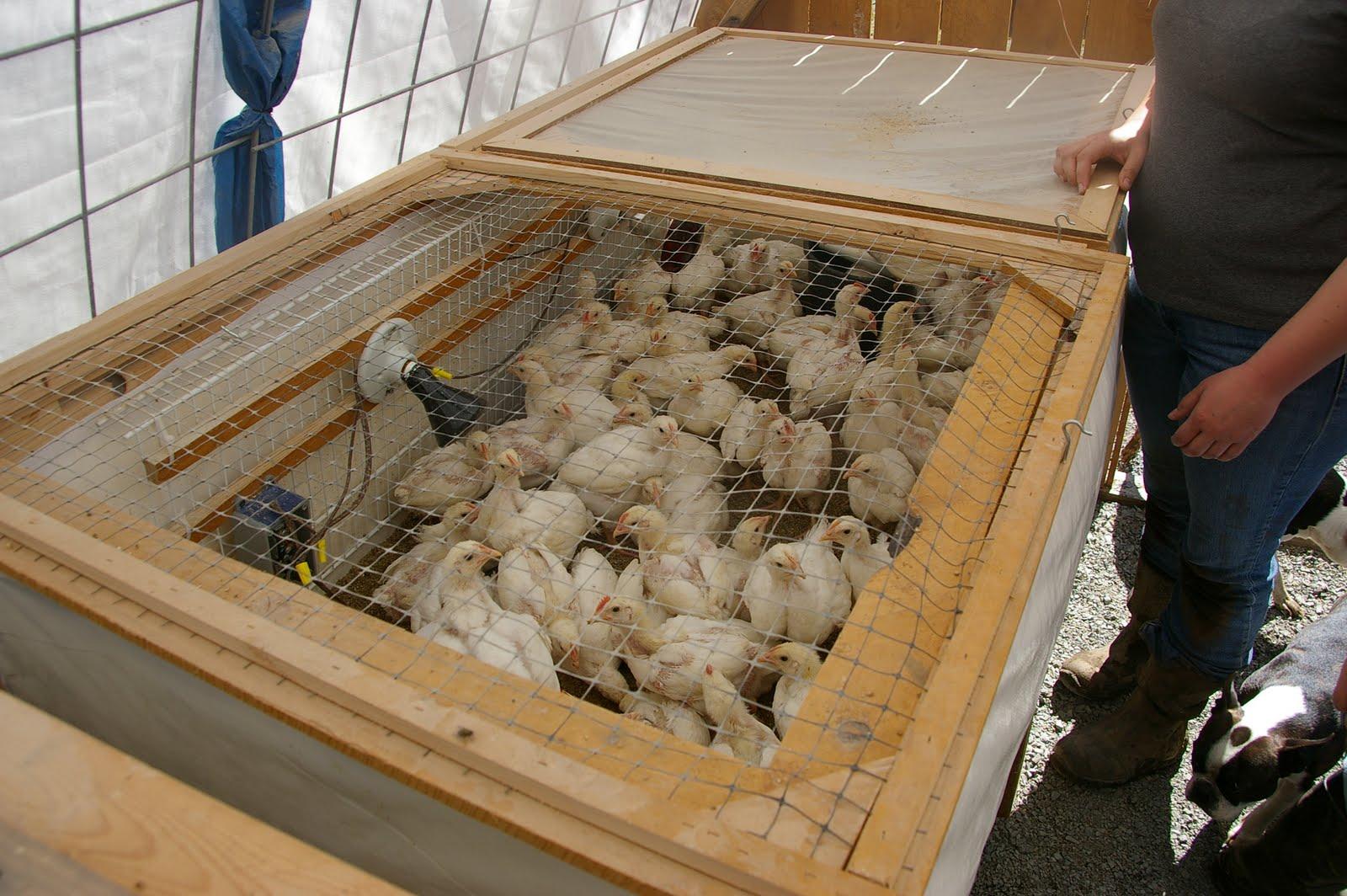 Cheap Chick Brooder